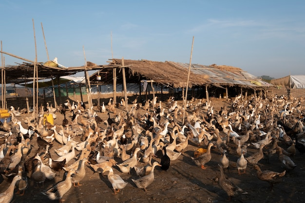 Duck farm in mandalay Free Photo