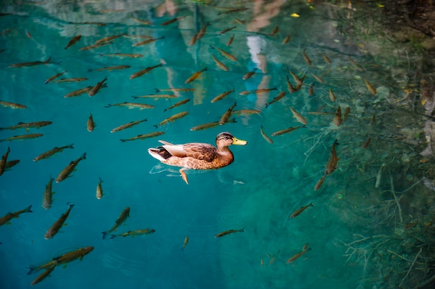 Duck and fishes in water of plitvice lakes, croatia Premium Photo
