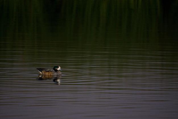 Утка висит в зеленом озере Бесплатные Фотографии