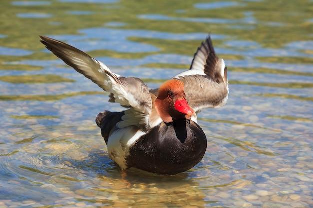 Anatra su un lago che si muove con le ali Foto Gratuite