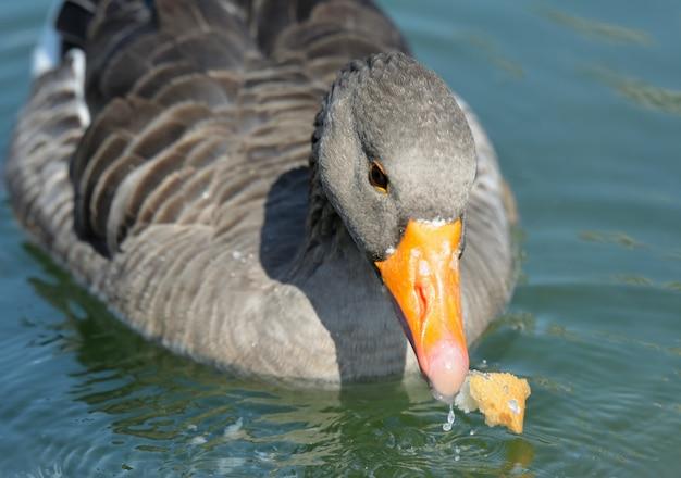 Duck on the lake Premium Photo