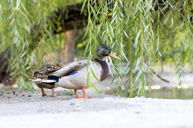 アヒルはくちばしに羽をつけて柳の葉から見えます Premium写真