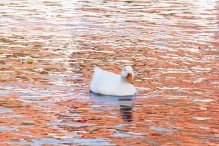 Утки плавают Бесплатные Фотографии