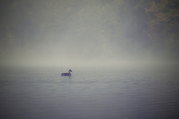 Duck on water surface on pond. autumn time with fog. animal in nature. natural colorful background. Free Photo