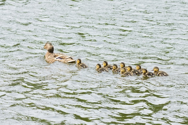 Duck with ducklings in the pond Premium Photo
