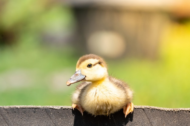 Duckling on the grass Premium Photo