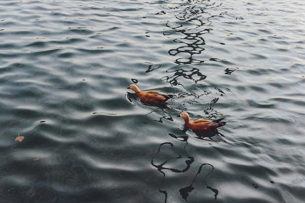 Утки и селезень плавают по воде в пруду. Premium Фотографии