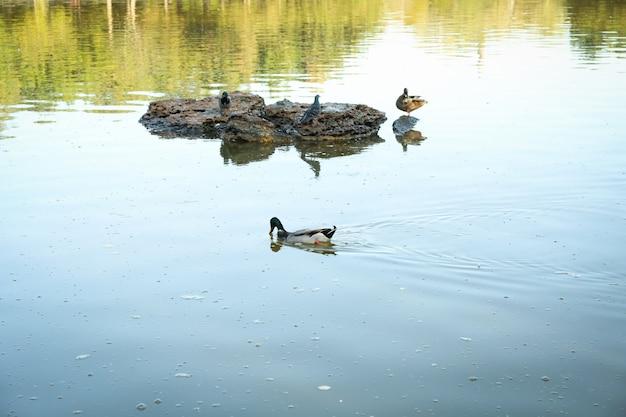 湖の石の上に座っているアヒルと鳩 Premium写真
