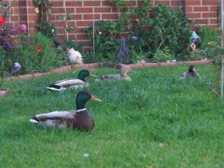 Ducks in a garden Free Photo