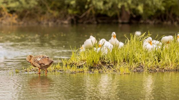Утки на пруду Бесплатные Фотографии