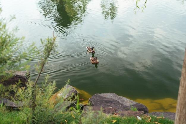 Ducks swimming in lake top view Free Photo