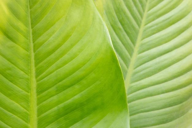 Dumb cane plant leaf Premium Photo