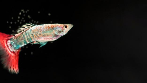Скопируйте черное пространство с dumbo betta splendens боевой рыбы Бесплатные Фотографии
