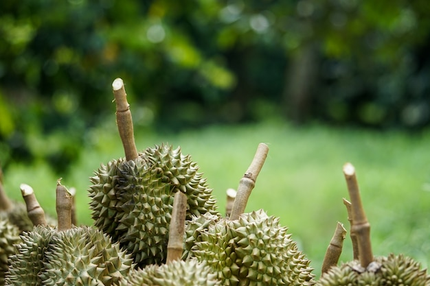 Durian pits that the gardeners cut down from the tree before being sorted and then sold. Premium Photo