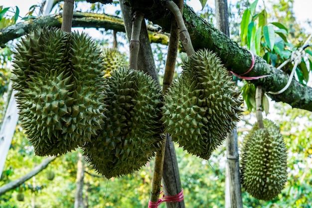 Durian on tree Premium Photo