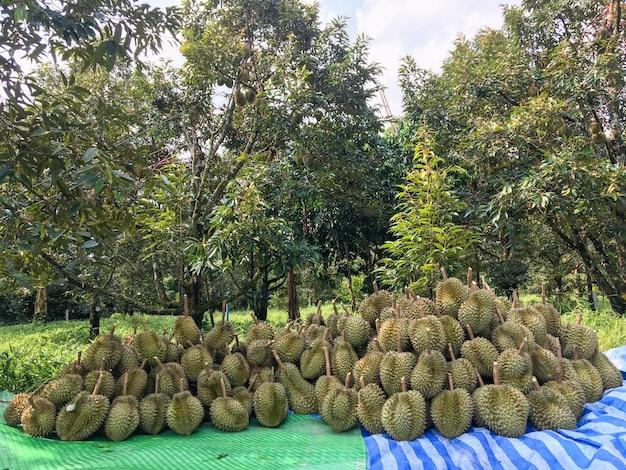 Durianは、庭師が木を切り倒してから並べ替えて販売するようにしています。 Premium写真