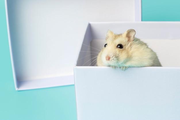 Карликовый пушистый хомяк в подарочной коробке на синем фоне Premium Фотографии