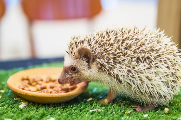 Dwarf porcupine eating food in mimic green garden Free Photo