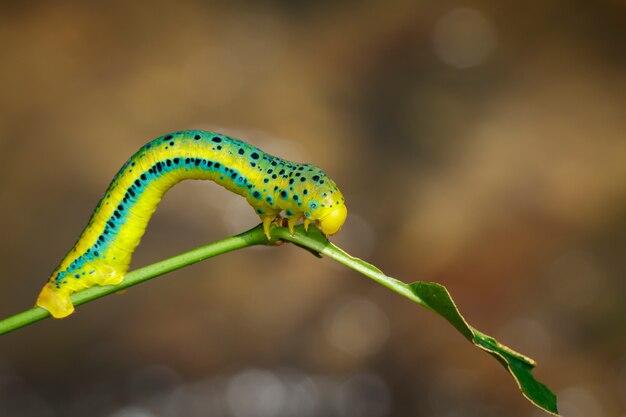 Гусеница dysphania militaris на фоне природы Premium Фотографии