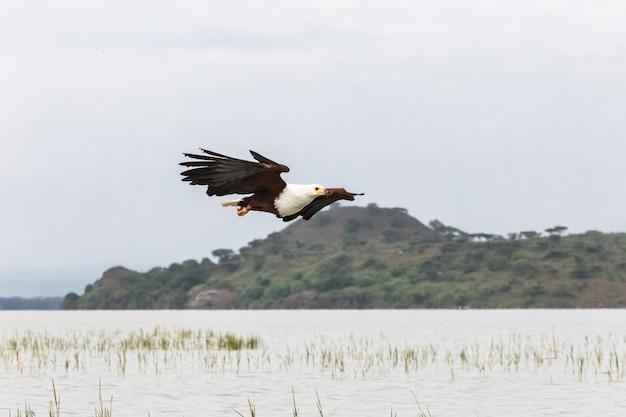 Орел птица охотник за рыбой орел из озера баринго кения африка Premium Фотографии