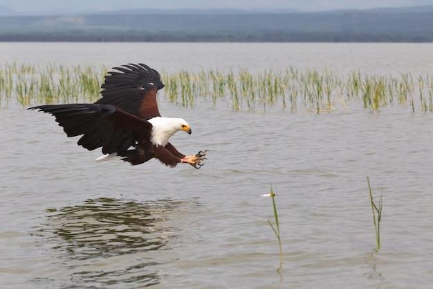 Орел охотник на рыбу орел из озера баринго кения африка Premium Фотографии