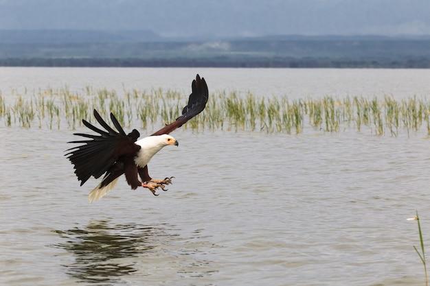Орел рыбак озеро баринго кения африка Premium Фотографии