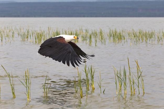 Орел хватает рыбу с поверхности озера баринго в кении Premium Фотографии