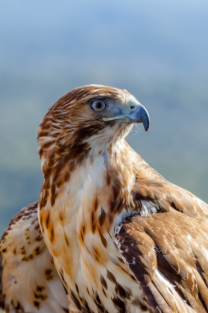 Eagle of red tail (buteo jamaicensis) Premium Photo