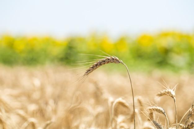 フィールド上の小麦のクローズアップの耳 無料写真