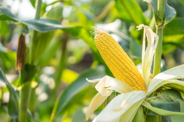 Ear of yellow corn with the kernels still attached to the cob in organic corn field. Premium Photo