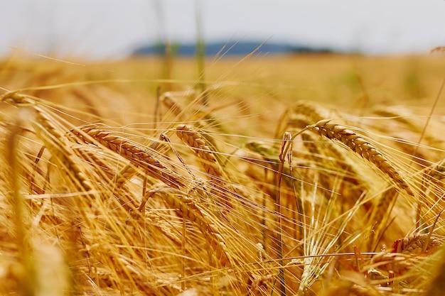 Ears in golden wheat field Premium Photo