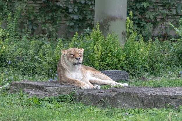 動物園の緑に囲まれた地面に座っている東アフリカのライオン 無料写真