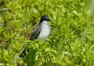 Eastern king bird Free Photo