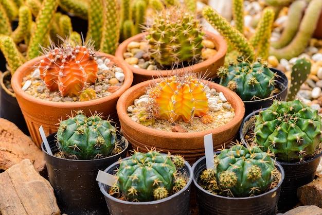 Echinocactus grusonii кластер кактусов. хорошо известный генерал кактуса Premium Фотографии