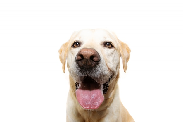 Пожилая и счастливая собака золотистого ретривера с высунутым языком. изолированные. Premium Фотографии