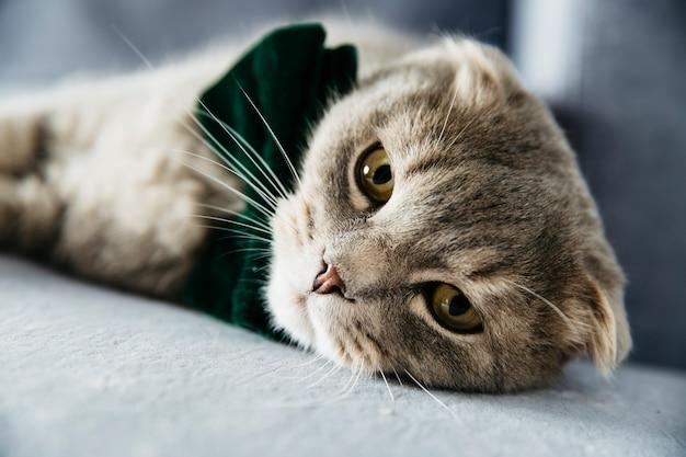 Elegant cat with bow tie Free Photo