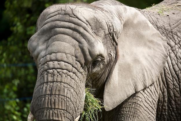 Слон портрет Premium Фотографии