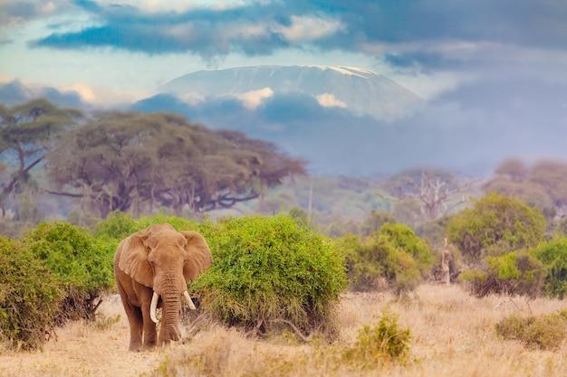Слон против горы килиманджаро Premium Фотографии