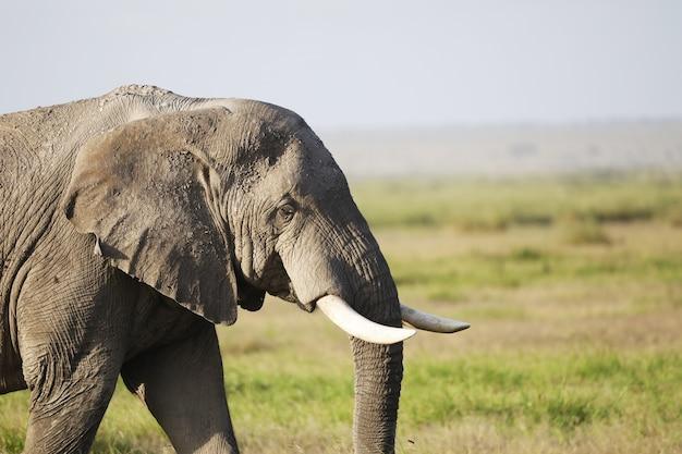 Elefante nel parco nazionale amboseli, kenya, africa Foto Gratuite