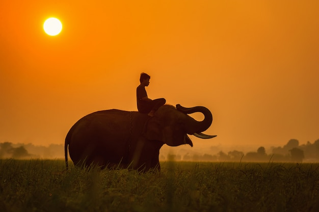 Elephant are a happy on field with bulldozers and mahout in sunrise, surin, thailand Premium Photo