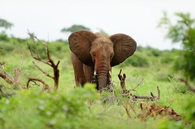 草で覆われたフィールドに木の丸太の間で泥で覆われた象 無料写真