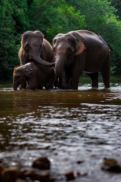 Elephant family in water Premium Photo