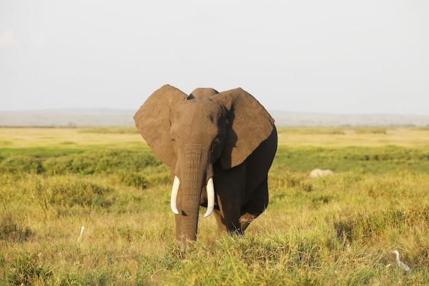 アンボセリ国立公園、アフリカ、ケニアの象 無料写真