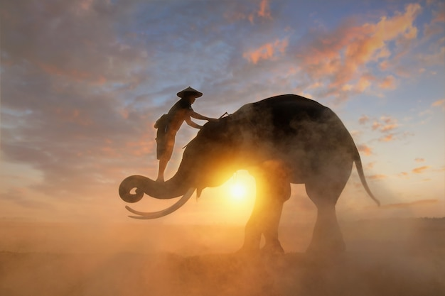Elephant and mahous on during sunrise, surin thailand Premium Photo