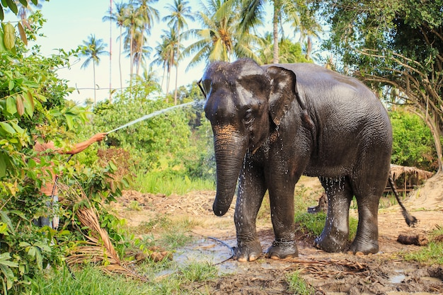Elephant make shower in farm of thailand Premium Photo