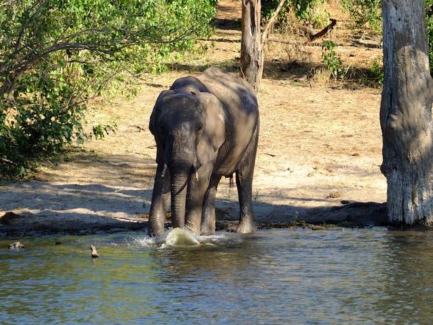 ザンベジ川の海岸、ボツワナ、アフリカの象 Premium写真