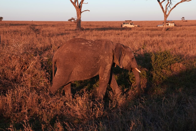 Elephant on savanna in kenia and tanzania, africa Premium Photo
