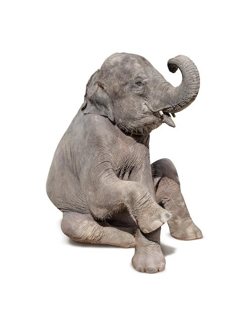 Elephant sit down isolated on white Premium Photo