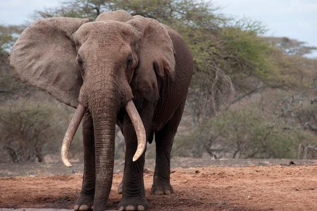 ケニアの象の野生生物 Premium写真
