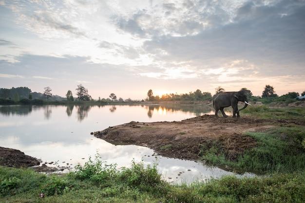 Elephant with sunrise sunset over lake Premium Photo